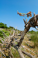 A young Devil Mantis (Empusa fasciata) perched and camouflaged on a branch, waiting for a prey, Croatia.