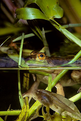 FR04-001a  Bull Frog - adult in pond with tadpole swimming underwater - Lithobates catesbeiana, formerly Rana catesbeiana
