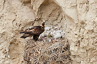 Golden eagle nest in Northwest Wyoming