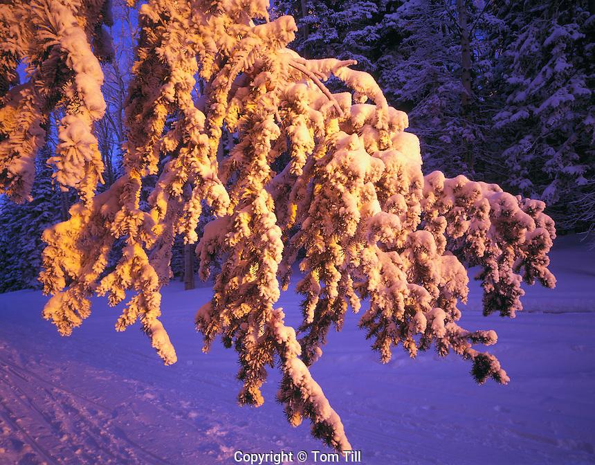 Ice Encrusted Forest, Manti-La Sal National Forest, Utah   La Sal Mountains   near Moab, Utah