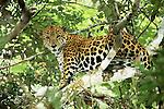 Jaguar, Calakmul Biosphere Reserve, Campeche State, Mexico