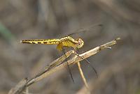 340420001 a wild female plateau dragonlet erythrodiplax basifusca perches on a dead plant stem in topock marsh near five mile landing in havasu national wildlife refuge mojave county arizona united states
