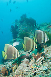 Anilao, Philippines; three adult Golden Spadefish (Platax boersii) swimming over the coral reef