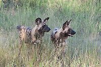 A pair of African wild hunting dogs, Botswana, Africa