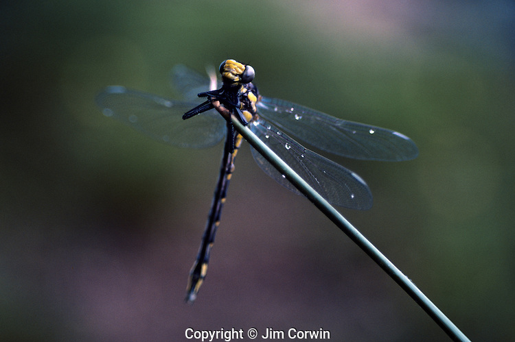 Dragonfly on a blade of grass by lake close up Lake Mason on the Olympic Penninsula Washington State USA