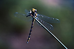 Dragonfly on a blade of grass by lake close up Lake Mason on the Olympic Penninsula Washington State USA