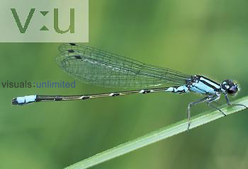 Skimming Bluet Damselfly ,Enallagma geminatum,, Ohio USA.
