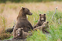 Brown bear sow with triplet spring cubs, Katmai National Park, Alaska.