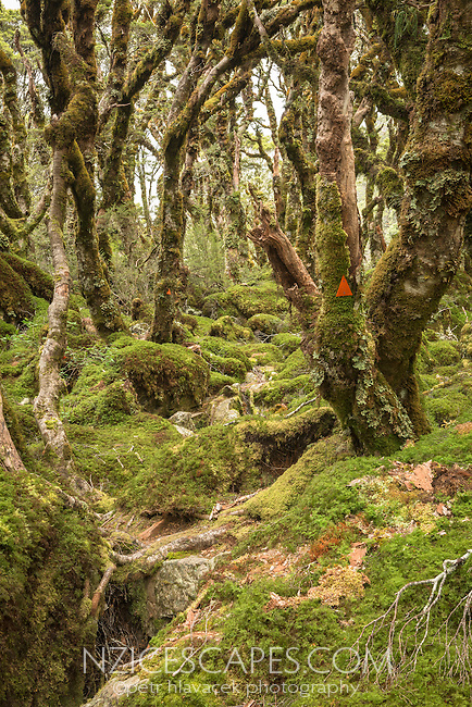 Routeburn Track through beech forest near Lake Mackenzie,  Fiordland National Park, Southland, South Island, World Heritage Area, New Zealand