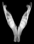 X-ray image of a North American beaver jaw (white on black) by Jim Wehtje, specialist in x-ray art and design images.