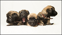 BNPS.co.uk (01202 558833)<br /> Pic: PhilYeomans/BNPS<br /> <br /> Whisper it quietly...but these dozing puppies could be a lifeline for Britains rarest breed of dog.