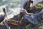 Brown pelicans at Pismo Beach