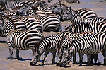 A herd of Burchell's zebra drink from a river in Kenya.