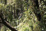 Chile, Lake Country: Canopying or ziplining adventure sport of sliding on a steel line through the canopy of the trees at Peulla.Photo #: ch626-33457..Photo copyright Lee Foster www.fostertravel.com, lee@fostertravel.com, 510-549-2202.
