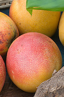 Mango Mangifera indica | Ripe Mangos Tropical Fruit picked and ready to eat, showing several on table harvested