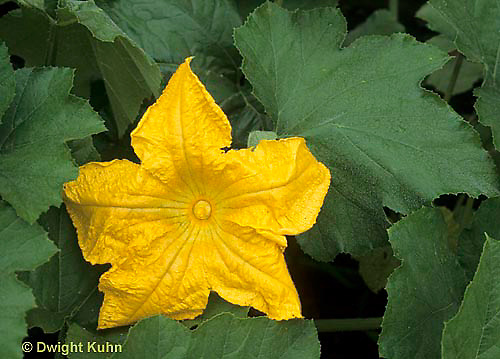 HS24-141g  Pumpkin - flower