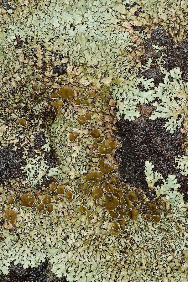 Schildflechte, Schüsselflechte, Gelbparmelie, Gelb-Parmelie, Parmelie, Blattflechte, Xanthoparmelia stenophylla, Parmelia conspersa var. stenophylla, Xanthoparmelia conspersa, Parmelia centrifuga var. stenophylla auctorum, Parmelia conspersa f. convoluta, Parmelia conspersa var. imbricata, Parmelia convoluta, Parmelia hypopallida, Parmelia imitans , Parmelia molliuscula auctorums, Parmelia somloënsis, Parmelia stenophylla, Parmelia taractica auctorum, Xanthoparmelia somloënsis, Xanthoparmelia somloensis, Xanthoparmelia taractica auctorum