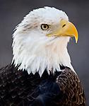 An American Bald Eagle looks into the sky.