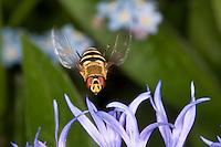 Garten-Schwebfliege, Gartenschwebfliege, Syrphus spec., Weibchen im Anflug auf Blüte, Blütenbesuch, currant hover fly