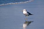 Gull, Ring-Billed / Larus delawarensis