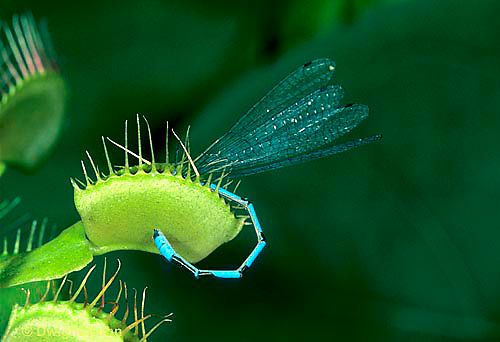 CA13-012e  Venus Fly Trap - damselfly prey caught in trap, carnivorous plant - Dioncea muscipula