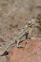 437800017 a wild southern desert horned lizard phrynosoma platyrhinos calidiarum suns on a large rock in mono county california