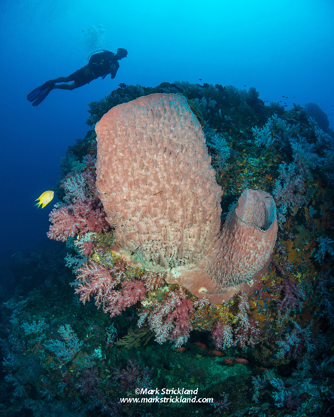 Diver hovers above a thriving reefscape including Barrel Sponges, Soft Corals, and Golden Damselfish, Amblyglyphidodon aureus. Andaman Islands, India, Andaman Sea
