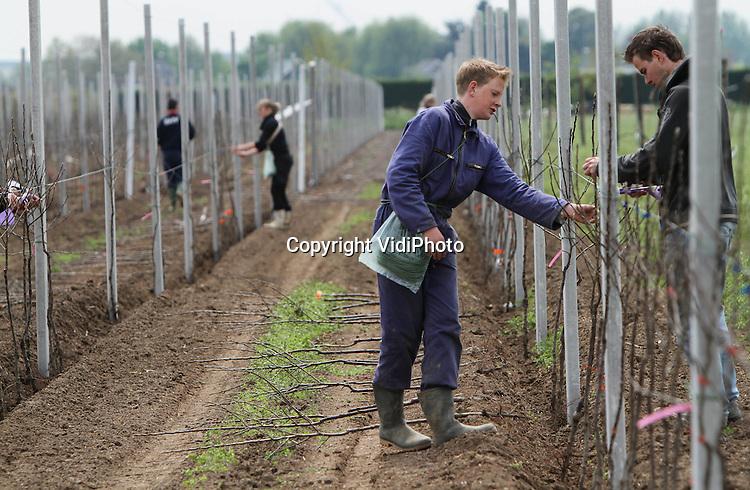 Foto: VidiPhoto..DODEWAARD - Nog maar weinig fruittelers in Nederland nemen het risico om flink te investeren in hun bedrijf. De gebr. De Vree uit Dodewaard zijn zaterdag echter begonnen met een forse uitbreiding van hun fruitbedrijf. De fruittelers planten een gloednieuw appelras, de Welland. Zo'n 15.500 boompjes op 4,5 ha gaan nu de grond in. Volgend jaar volgt nog eens zo'n 7 ha met peren en appels. De prijzen van appels zijn al jaren zeer laag. De gebr. De Vree verwachten echter veel van het nieuwe appelras, dat smaakvoller, minder glad, groter is en langer houdbaar.
