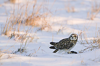 Short-eared Owl standing over a captured vole