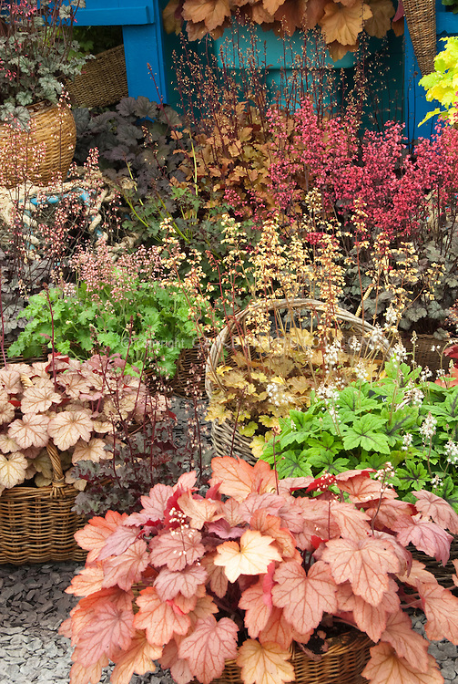 Heucheras variety mix in bloom in basket pot container garden