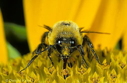 BU06-021f   Bumblebee - face and tongue (proboscis) - Bombus griseocollis