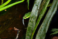 A slithering Giant Parrotsnake (Leptophis ahaetulla) uses its tongue and sense of smell while hunting for frogs and frog eggs above a pond in the jungle, Bocas del Toro, Colon Island, Panama
