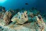 Green Turtle, Chelonia mydas