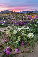 Anza-Borrego Desert State Park, CA:  A field of desert wildflowers featuring dune evening primrose (Oenothera deltoides), desert sand verbena (Abronia villosa), brown-eyed primrose (Camissonia claviformis) and desert sunflower (Geraea canescens) in Borrego Valley at sunset