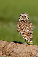 Burrowing Owl standing on a prairie dog dirt mound in evening light