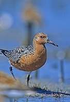 Red Knot, walking in a salt marsh.  Fortesque, New Jersey
