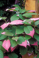 Climbing Variegated Kiwi Vine Actinidia kolomikta with pink, green and white leaves