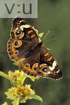 Buckeye Butterfly (Junonia coenia), Florida, USA.
