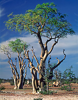 Moringa Trees, Haunted Forest, Etosha National Park, Africa   Trees on large plain