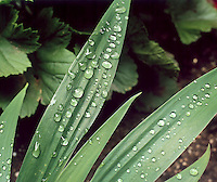 SURFACE TENSION<br /> Strong Hydrogen Bonds of Water Form Drops<br /> Iris tectorum<br /> Japanese roof iris.