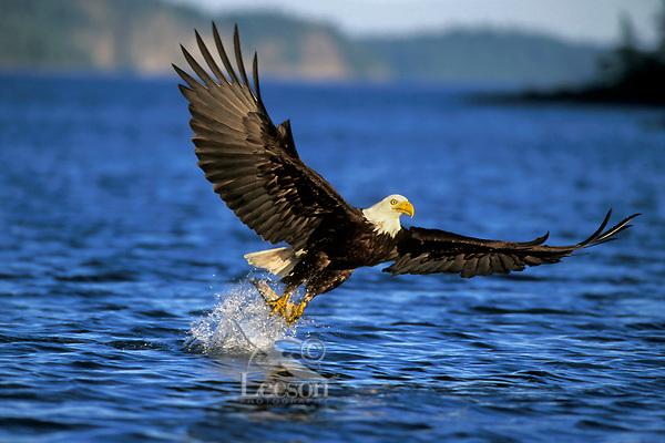Bald Eagle (Haliaeetus leucocephalus) catching rainbow trout.  Pacific N.W., Summer.