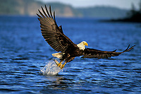 Bald Eagle (Haliaeetus leucocephalus) catching rainbow trout.  Pacific N.W., Summer.