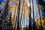 Sunlight streaming through autumn quaking aspens, Gunnison National Forest, Colorado