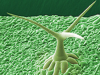 Trichome on the leaf of (Arabidopsis thaliana). SEM X270,  based on 100x125 mm