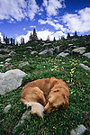 Golden retriever sleeping in alpine meadow, Holy Cross Wilderness, White River National Forest, Colorado