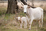 Brazoria County, Damon, Texas; a newborn calf and it's mother out in the pasture