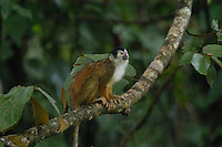 The Red-backed Squirrel Monkey (Saimiri oerstedii) is a declining species in the rainforests of Costa Rica