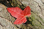 A single red maple tree in a Massachusetts forest
