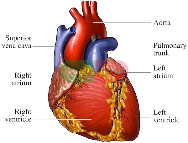 pulmonary trunk – citybeauty, Human Body