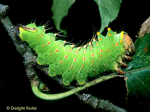 LE41-023z  Polyphemus Moth - caterpillar eating - Antheraea polyphemus